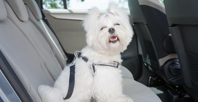 Des conseils pour ceux qui aiment les animaux de compagnie : lorsque le chien est votre copilote